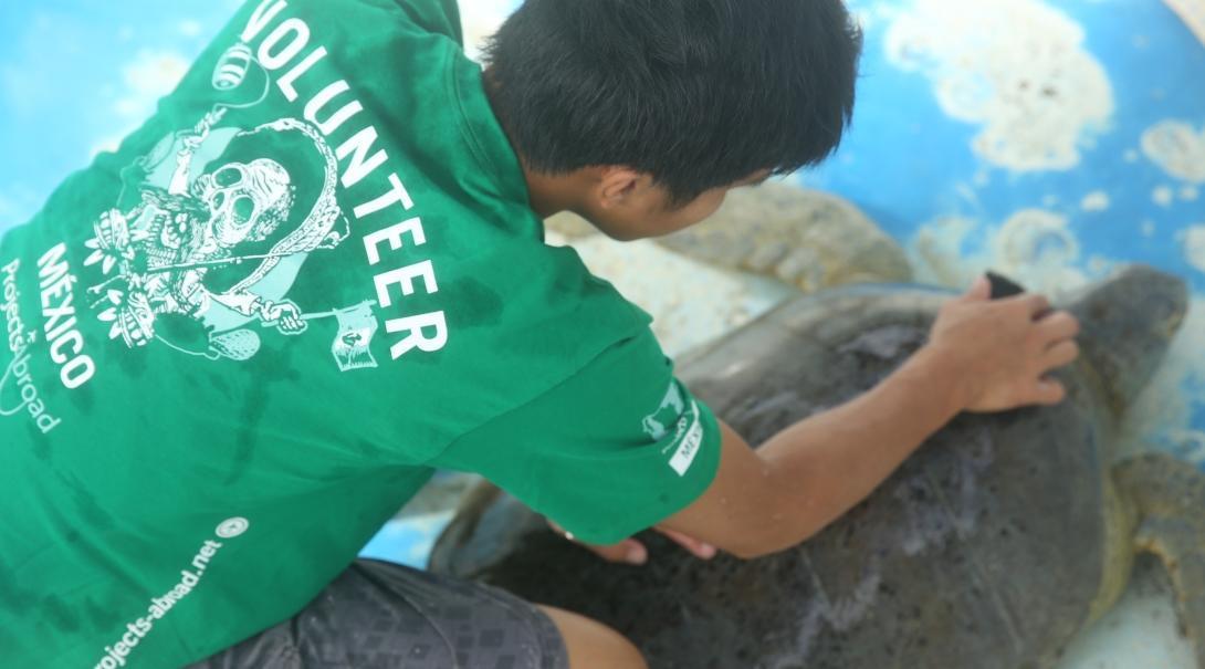 Een vrijwilliger op groepsreis Natuurbehoud in Mexico maakt een schildpad schoon.